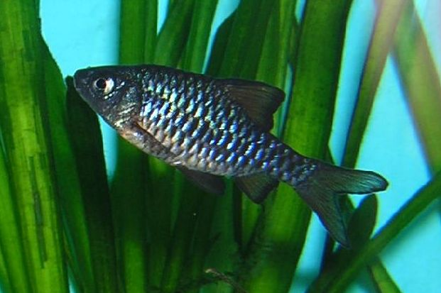 Checkered Barb