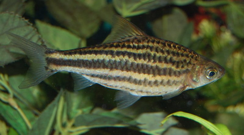 Barbs for Tiger striped fish