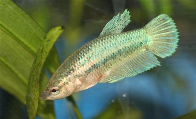 Betta for Female betta fish pictures