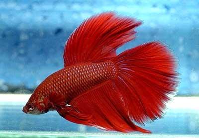 Betta for Red betta fish