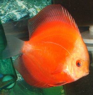 discus red melon - group picture, image by tag - keywordpictures.com