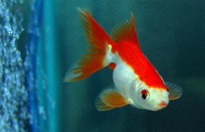 Goldfish for Golden fish pipe