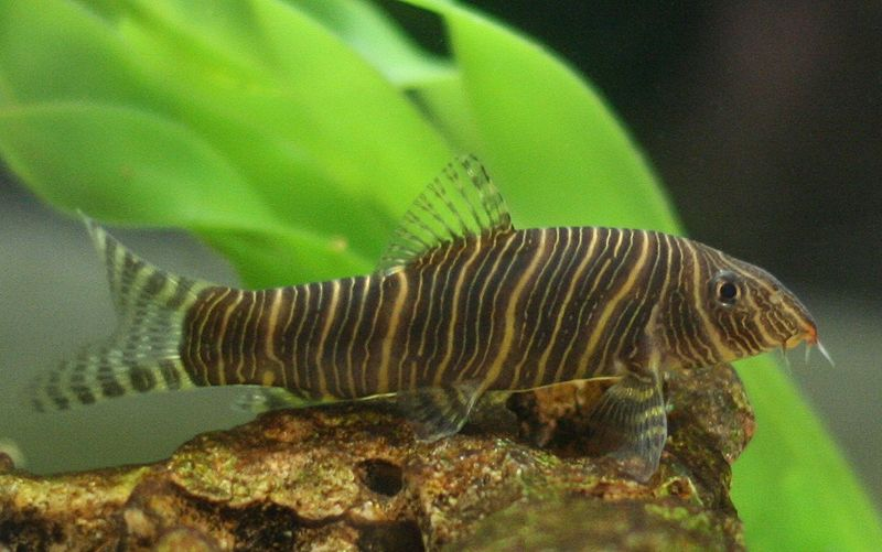 Loach for Bottom feeders fish