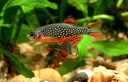 Galaxy rasbora is it expensive aquascaping world forum for Freshwater schooling fish