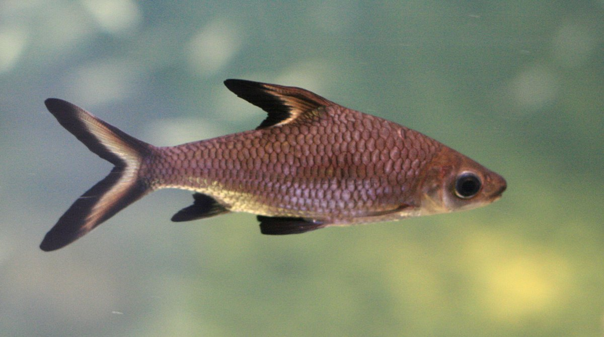 Shark Freshwater fish with red fins